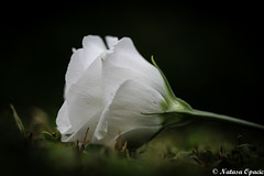 Unsteady (_Natasa_) Tags: flower rose whiterose petals detail closeup dof depthoffield macro nature art natasaopacic natasaopacicphotography canon canoneos7d canonef100mmf28lmacroisusm