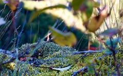 DSC_9435 (devoutly_evasive) Tags: moss closeup close bokeh texture forest floor plants