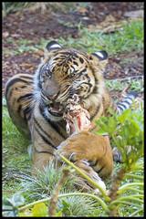 Suka and his bone (KRIV Photos) Tags: sandiego suka sumatrantiger tiger wildanimalpark animal