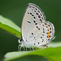short-tailed blue (mishko2007) Tags: shorttailedblue cupidoargiades korea 105mmf28