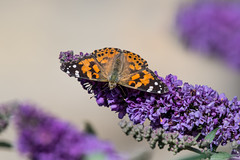 Farewell and adieu my fair Painted Ladies (Tim Melling) Tags: cynthia cardui painted lady south pennines butterfly timmelling
