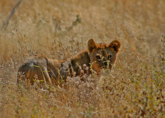 Namibia 06 (AndersHolvickThomas) Tags: africa cute animal cub lion