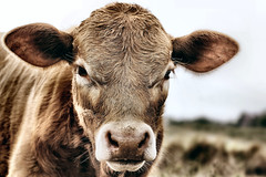 Calf (j.mcjapperson) Tags: portrait brown face rain hair nose cow eyes cattle ears western calf livestock bovine sigma50mmf14 canoneos60d sigmalux