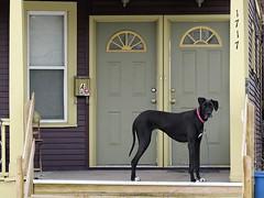 Great Dane (5of7) Tags: dog door house steps front greatdane germanmastiff danishhound canislupusfamiliaris letters numbers animal a3b a3bchallenge challengewinner 15challengeswinner 15challenges pet fav nopeople outdoor andromeda50bestofthebest supersix 3wins 10fav