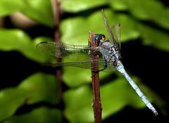 Descanso sobre verde... (.Bambo.) Tags: dragonfly liblula animalia odonata