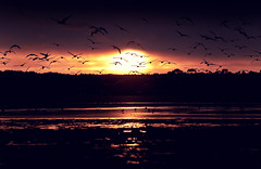 Birds flocking over Poole Harbour. (Nick Caro - Photography) Tags: uk sunset red sky sun nature water birds landscape harbour wildlife tide low flock caro dorset environment poole wwwnickcarophotographycouk