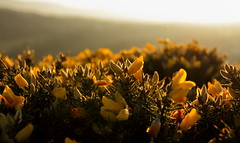 Gorse (nicholas.cross5) Tags: yellow gorse springcolour ulexsp