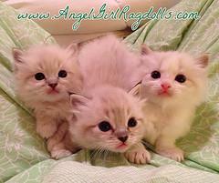 Trinity tri vecta (AngelGirl Ragdolls) Tags: pet cats pets cute beautiful loving cat snuggle furry kitten pretty gorgeous kitty fluffy kittens indoor gatos floppy cuddly kitties friendly ragdolls ragdoll kittys angelgirl angelgirls catnipaddicts