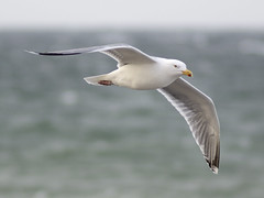 Lying On The Wind (capribeach1) Tags: bird nature animal coast flying nikon meer seagull balticsea mwe ostsee tier vogel kste fliegen 180mm heiligenhafen d7000