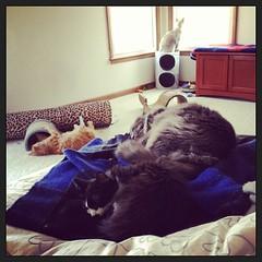 the fam (merrickball) Tags: cat square kitten squareformat finnegan amaro stinks iphoneography instagramapp uploaded:by=instagram foursquare:venue=50f985e8e4b0e1894c0e5653