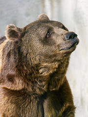 Bear with melancholic expression
