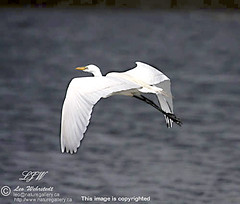 "Great Egret in Flight_9234 • <a style=""font-size:0.8em;"" href=""http://www.flickr.com/photos/18570447@N02/8547218766/"" target=""_blank"">View on Flickr</a>"
