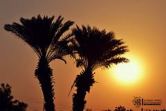 - silhouette by mashael ahmed (Mashael Ahmed _  ) Tags: trees silhouette   jazan       mashael    mashaelahmed