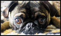 Tonet (BelladonaGarmog Photography) Tags: dog pet animal pug perro mascotas carlino panasonicdmcgh2 belladonagarmog