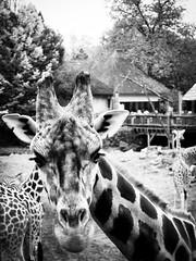 Giraffe (RoelvanNoord) Tags: hello leica looking onehead giraffe emmen gustophoto