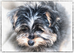 Painterly Yorkie Puppy (jta1950) Tags: dog chien pet pets painterly cute dogs yorkie animal puppy framed adorable canine yorkshireterrier vignette chiot