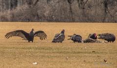 Turkey Vulture (susan3032) Tags: bird turkeyvultures vulture buckscounty 2013inphotos2013inmarch