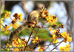 2951 - yellow mouth (chandrasekaran a 546k + views .Thanks to visits) Tags: flowers trees india nature eos squirrels chennai mammals indianpalmsquirrel tamron200500mm copperpod canon60d
