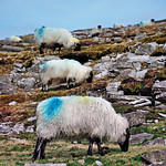 "Blue Sheep, Letterhill <a style=""margin-left:10px; font-size:0.8em;"" href=""http://www.flickr.com/photos/89335711@N00/8595031387/"" target=""_blank"">@flickr</a>"
