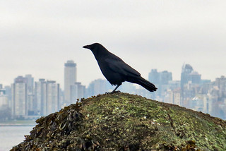 Crow on Barnacle Rock #831