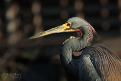 Tri-Colored Heron (QuakerVille) Tags: usa bird beautiful animal education florida wildlife palmbeach delray wetland boyntonbeach boynton wakodahatchee canon5dmarkiii jonmarkdavey