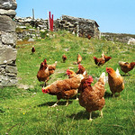 "Hens on Inishbofin Island <a style=""margin-left:10px; font-size:0.8em;"" href=""http://www.flickr.com/photos/89335711@N00/8596709716/"" target=""_blank"">@flickr</a>"
