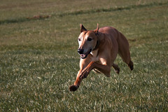 52 Weeks For Dogs, 13/52 - Stretching Those Legs (me'nthedogs) Tags: flying ruben running lurcher longdog 1352 52weeksfordogs