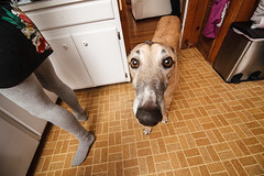 _MG_9473-98 (k.a. gilbert) Tags: dog pet greyhound kitchen animal canine indoors cal handheld wireless inside fullframe 116 tal trigger talus uwa averysbirthdayparty offcameraflash tokina1116mmf28 canon430exii ettl2 canon5dc mcnettshouse yongnuo622c