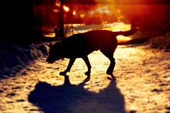 Labrador (AtmosphereShotsPR) Tags: sunset dog photoshop labrador heiligenberg