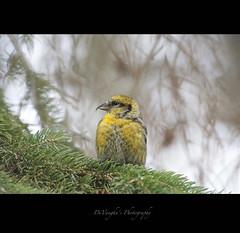 A Yellow Thinker (DeVaughnSquire) Tags: canada nature yellow wildlife alberta smallbirds echodale crossbill