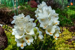 White Freesia (sierrasylvan) Tags: california flowers white green canon spring blossoms sigma adobe buds blooms greenvalley freesia solanocounty whitefreesia canoneos50d lightroom3 zeikos photomatixpro4 adobephotoshopcs5 adobebridgecs5 sigma1770mmf2845dcmacrolens zeikoscpl