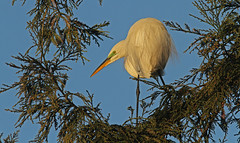 Rookery Pose (cetch1) Tags: nature birds egret greategret rookery nesting nests ardeaalba breedingplumage matingbehavior naturesharmony northerncaliforniawildlife ninthstreetrookery