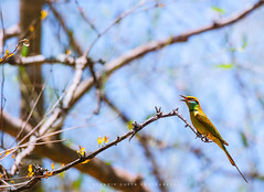 The Blue-tailed Bee-eater (Merops philippinus) (mechstar) Tags: blue bird nikon tail small bee f4 tailed eater gupta sandip beeeater nilgiri merops 200400mm vrii philippinus