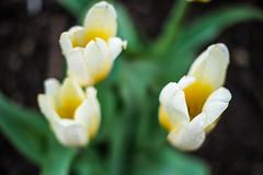 20130421-0064 (www.cjo.info) Tags: plant blur flower water digital lens scotland flora waterdrop edinburgh unitedkingdom bokeh olympus tulip fujifilm newtown citycenter manualfocus raindrop shallowdepthoffield accessory standrewssquare focusblur lensadapters exif:focal_length=100mm exif:iso_speed=400 exif:make=fujifilm camera:make=fujifilm geo:city=edinburgh geo:state=scotland pixco xmount geo:countrys=unitedkingdom exif:lens=1000mm exif:aperture=ƒ10 olympuspenfgzuiko40mmf14 xfmount penfmount fujifilmxe1 camera:model=xe1 exif:model=xe1 pixcoolympuspenftofujifilmxmountadapter geo:lon=31934083333333 geo:lat=55954083333333
