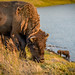 Buffalo of Yellowstone 2012.09.05 - 1.jpg