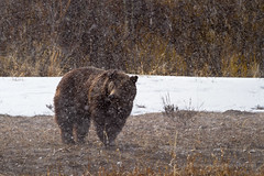Grizzly Bear in Late Winter Storm (Free Roaming Photography) Tags: bear usa snow storm west male weather animal silhouette season fur mammal nationalpark spring adult wildlife profile snowstorm northamerica wyoming predator snowfall boar grandteton jacksonhole winterstorm precipitation grizzlybear grandtetonnationalpark willowflats