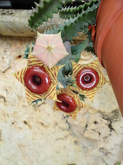 Huernia zebrina spp. insigniflora (Jardin Boricua) Tags: cactus huernia huerniazebrina
