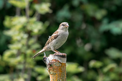 Female House Sparrow  |  Haussperling (abritinquint Natural Photography) Tags: bird vogel natural wildlife nature wild nikon d750 telephoto 300mm pf f4 300mmf4 300f4 nikkor teleconverter tc17eii pfedvr germany garden garten perch tree stump