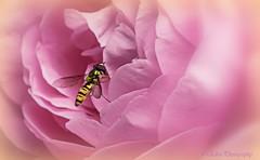 delizioso (Fay2603) Tags: natur nature pflanze plant blume flower blossom blte wespe wesp pastell heiter light licht schrfentiefe bltenblatt bud rosa rose pink macro rose buds bltenbltter