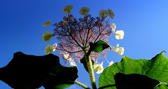 Hydrangea sargentiana (EOS1DsIII) Tags: blue sky flower green nature germany deutschland flora frankfurt himmel grn blau froschperspektive samthortensie eos1dsiii hydrangeasargentiana