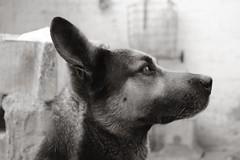 DSC_1601 (aturdimientos) Tags: dog monochrome