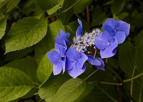 Hydrangea Serrata Bluebird