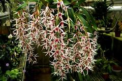 Epigeneium lyonii (rolf_leon) Tags: orchids orchideen epigeneium dendrobium orchidées