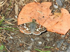 Female Common Checkered-Skipper (Pyrgus communis) (Nature In a Snap) Tags: merrill creek reservoir philipsburg county warren common checkeredskipper pyrgus communis butterfly butterflying butterflier winged basking female nature wildlife lepidoptera