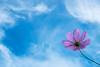 Blue sky (sonica@2006) Tags: blue sky a cosmos shaking high forever is very good japan shizuoka susono xm1 xf35mm fujinon fujifilm flower autumn platinumheartaward