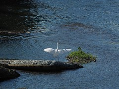 Great egret () (Greg Peterson in Japan) Tags: shiga yasugawa rivers japan wildlife birds egretsandherons konan hari shigaprefecture jpn