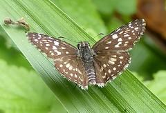 Pyrgus orcus (Helio Lourencini) Tags: pyrgusorcus butterfly animal aoarlivre macro inseto borboleta coresvivas worldbest explore flor planta paudalho pernambuco wild wildlife selvagem forest floresta mataatlantica