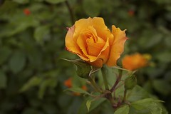 Orange Rose (3788) (cfalguiere) Tags: areamayenne areapaysdelaloire areasarthe72 bokeh colororange countryfrance datepub2016q308 dof fleur flower jardindesplantes locationlemans nature outdoor park periodsummer plante profondeurdechamp rosaceae rose roseraie urban orange garden jardin belle pretty exterieur lemans sel20160821