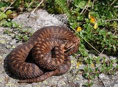 Vipera berus (aspisatra) Tags: vipera berus marasso adder vipre snake serpent serpente pliade alpi bergamasche italy