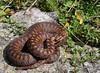 Vipera berus (aspisatra) Tags: vipera berus marasso adder vipère snake serpent serpente péliade alpi bergamasche italy